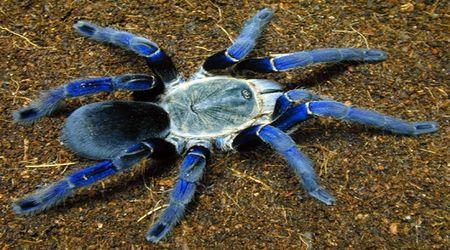 "Ядовитый паук тарантул - ""вдохновитель"" тарантеллы"