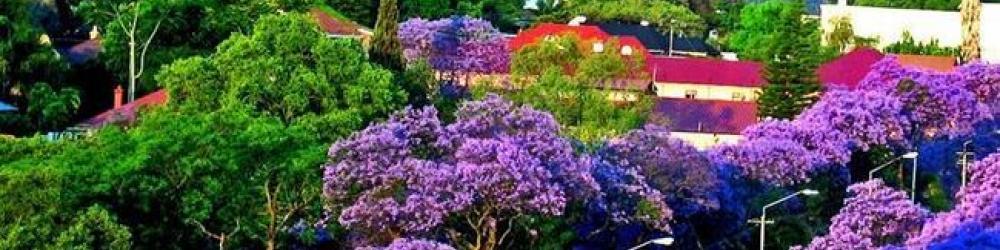 Цветущие палисандры